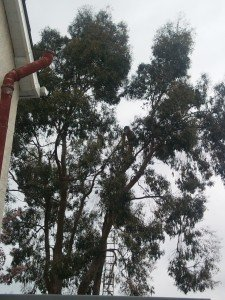Tree Cable Bracing Newport